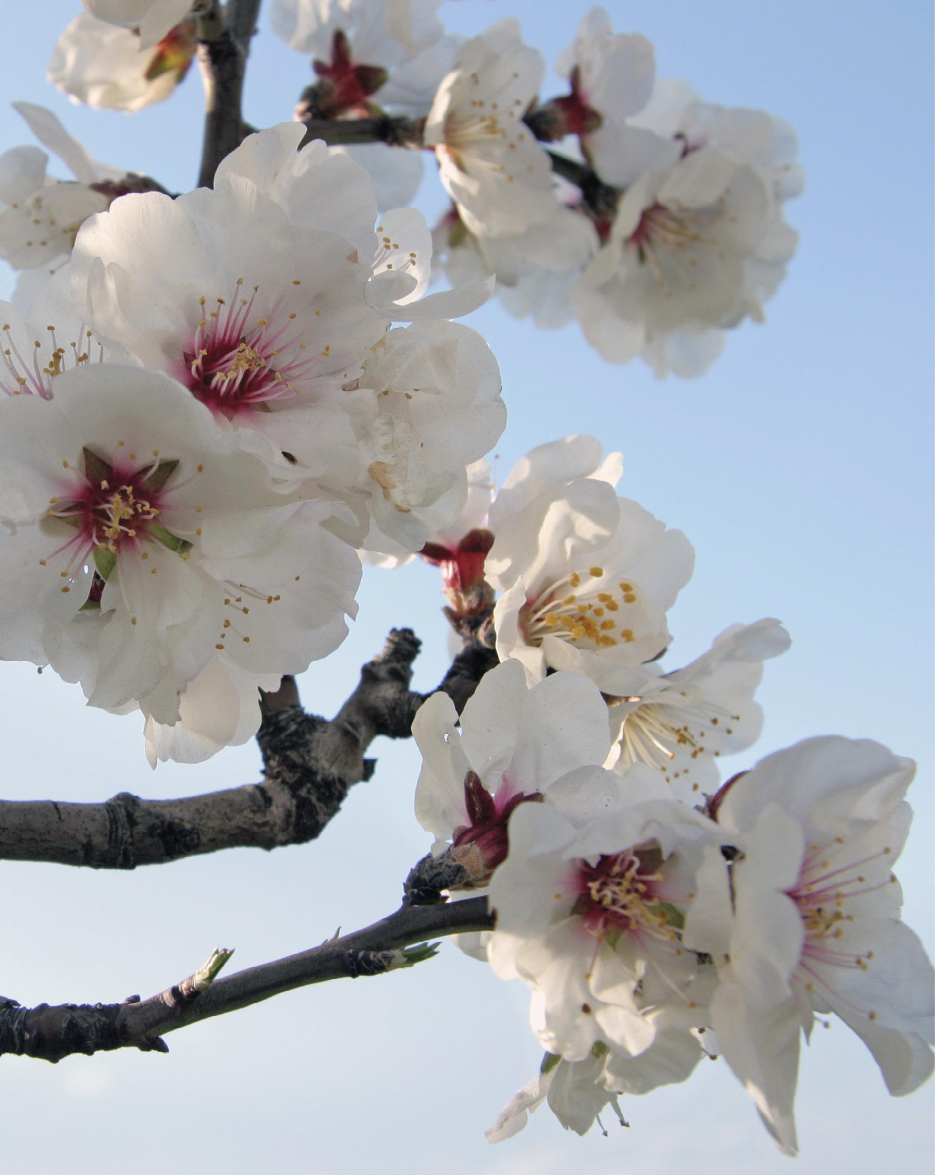 Amendoeira em flor. Foto de Anna Anichkova, março 2011 | Wikimedia Commons.