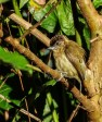 Olivaceous Piculet, photo by Gail Hull