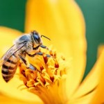 abelha-em-flor-no-brasil-1618239781566_v2_450x337.jpg.webp
