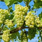 uvas-italianas-brancas-800×533.jpg