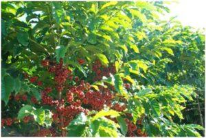 Conilon coffee bushes