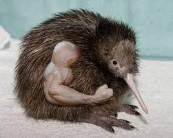 kiwi more attractive than the buck heres why