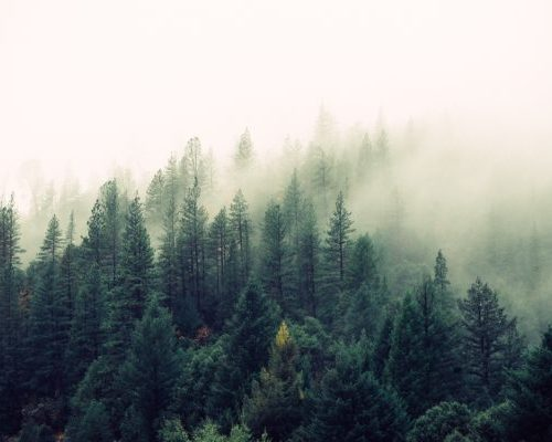 nature-forest-trees-fog sapin bio