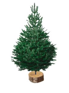 nordmann 150-175 sapin bio de Noël