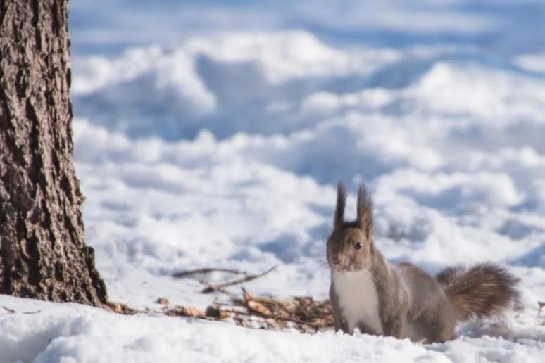 雪の中のエゾリス