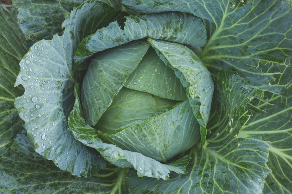 cabbage (1)