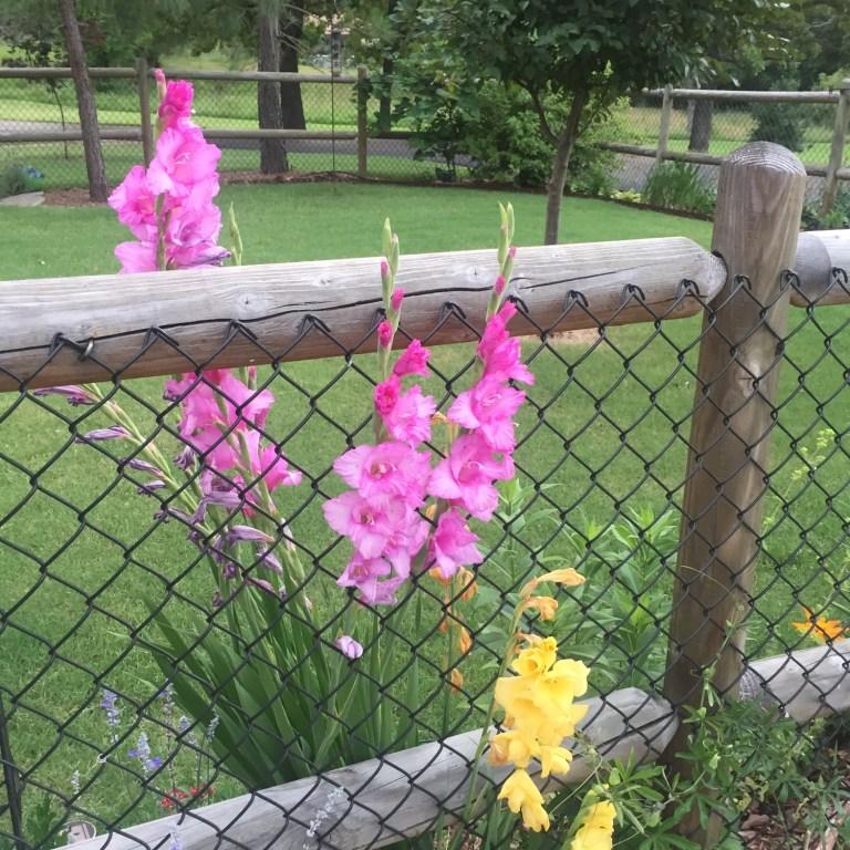 Master Gardener: Gorgeous Gladiolus!
