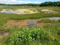 Algal blooms in the pools on the marsh platforms at Barn Island, Stonington, CT.
