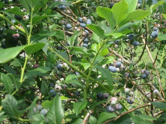 blueberry2