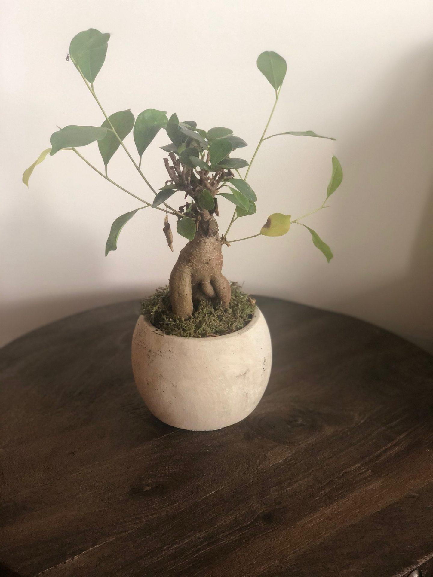 Bonsai Exotics Ginseng Plant