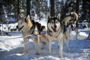 Huskies Riisitunturi Nationalpark, Finnland