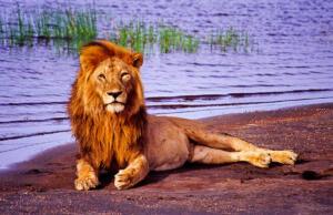 Löwe_Serengeti