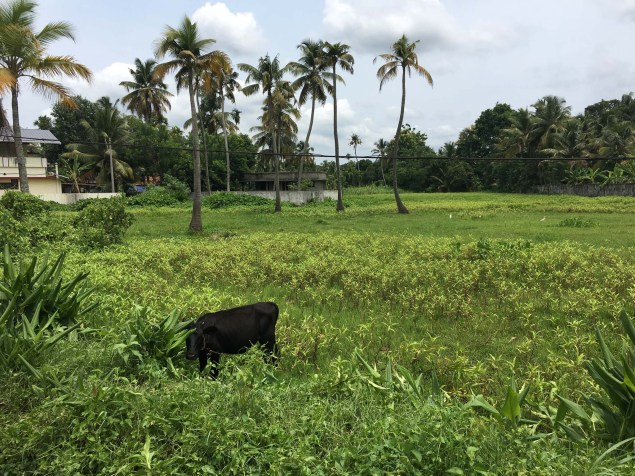 Amazing fields with cows grazing. This was outside of Kochi in a smaller town, Aluva.