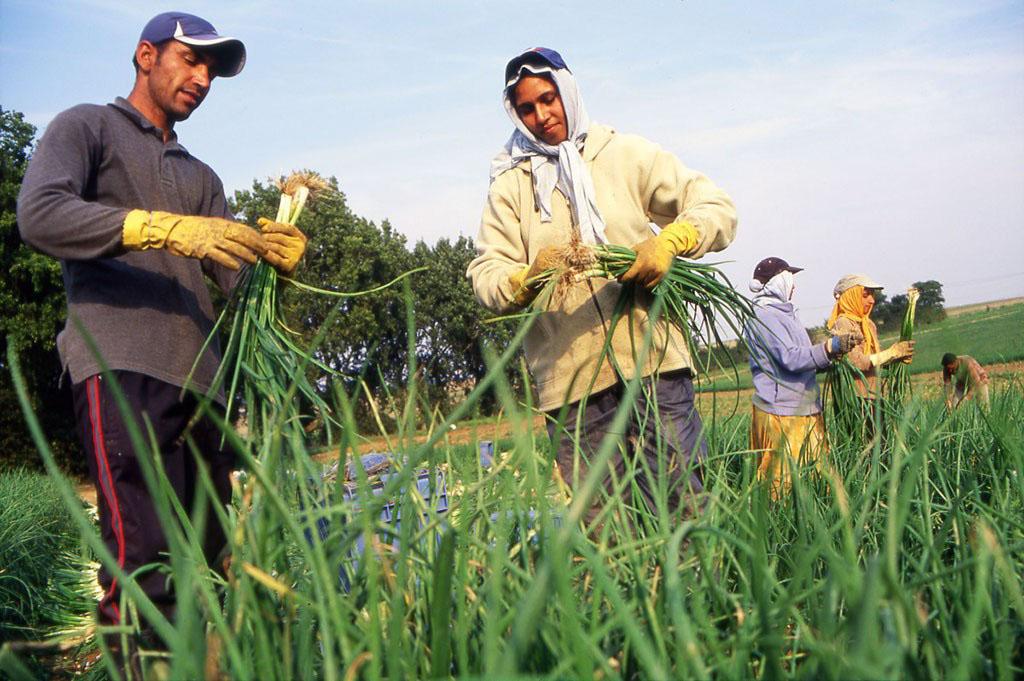 Farm workers on an onion field in Kent