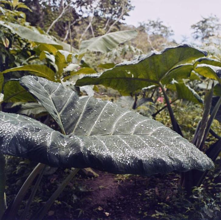 Big Leaf - 2005 - 10 x 10 - Chromogenic Print
