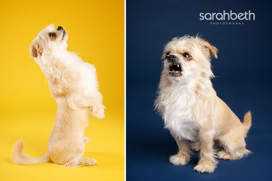 chunk3 chunk :: little lion man :: minneapolis dog photographer