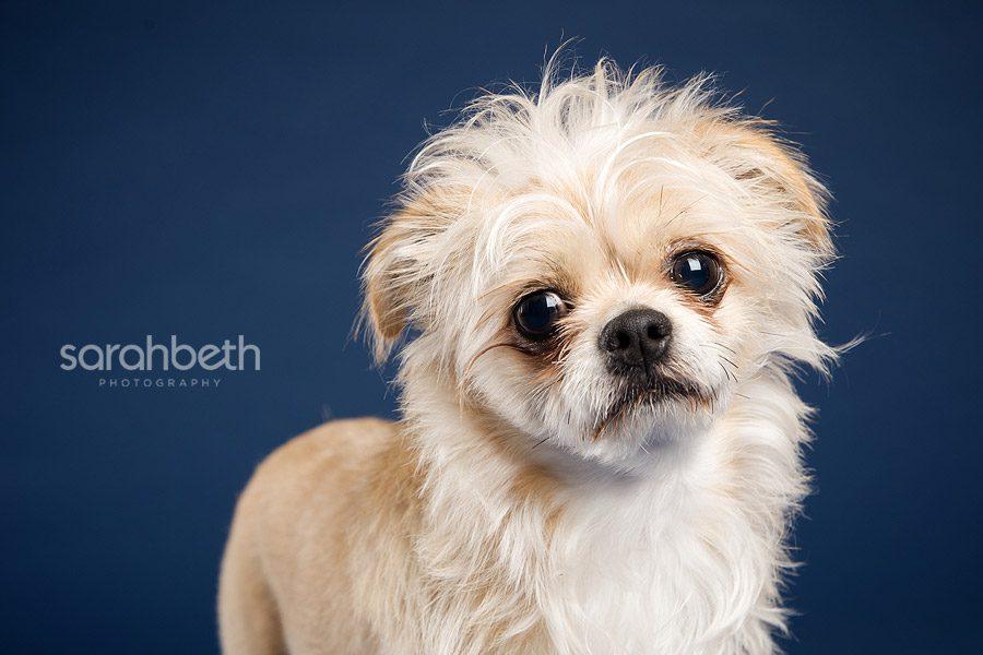 chunk5 chunk :: little lion man :: minneapolis dog photographer