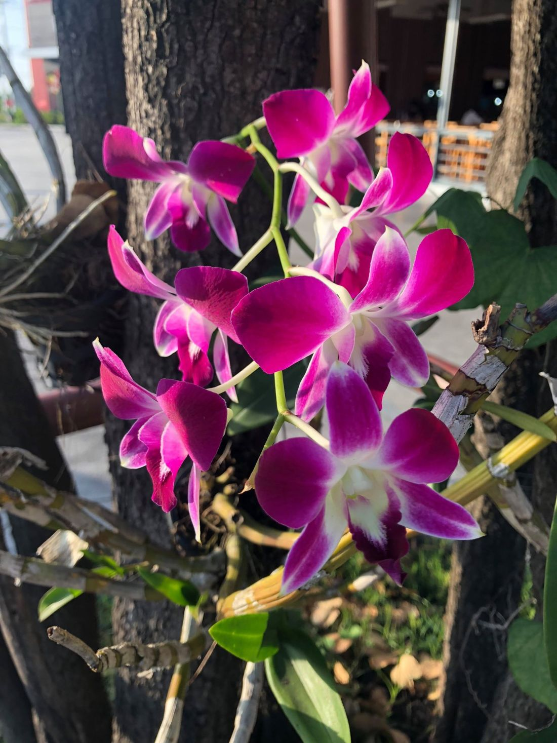 Fuschia and white orchid.