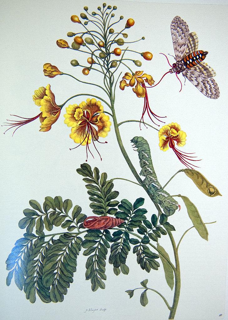 """Plate XLV from """"Metamorphosis insectorum Surinamensium"""". 1705."""