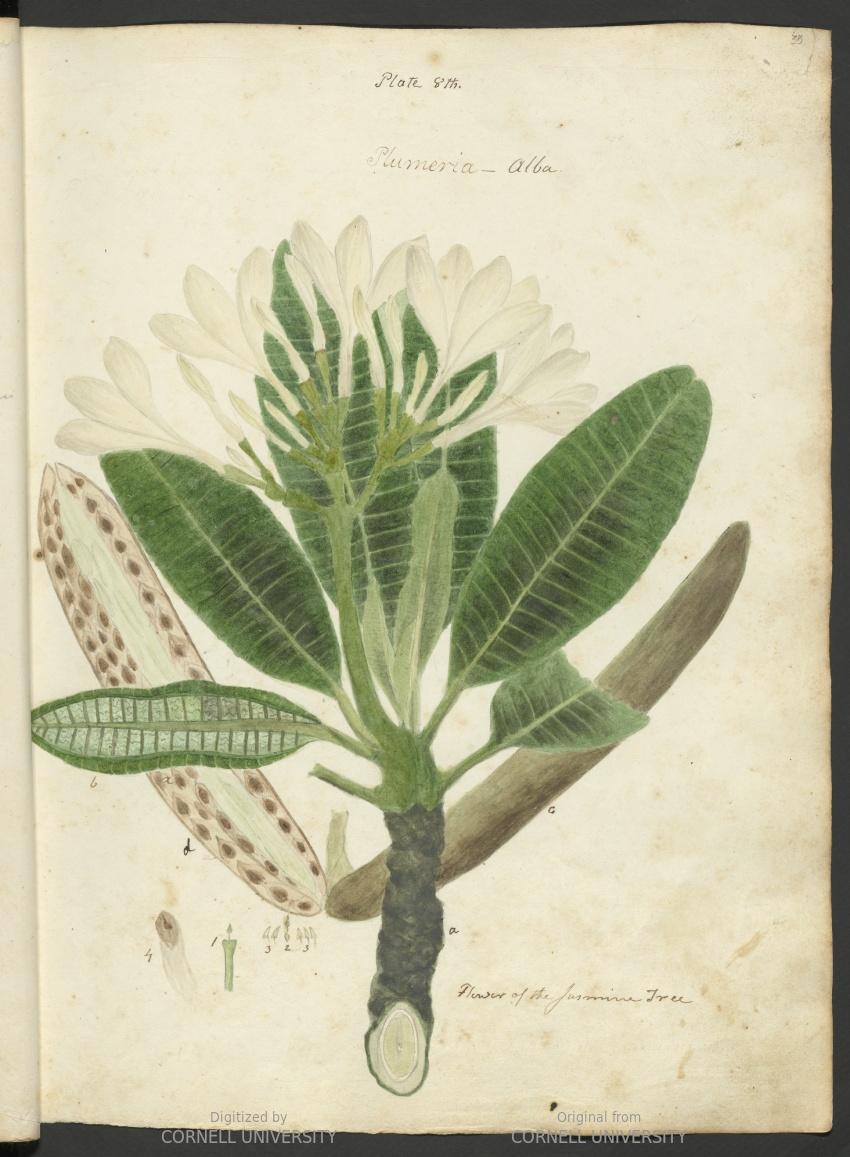 Plumeria alba. Flower of the jasmine tree. Plate 8.