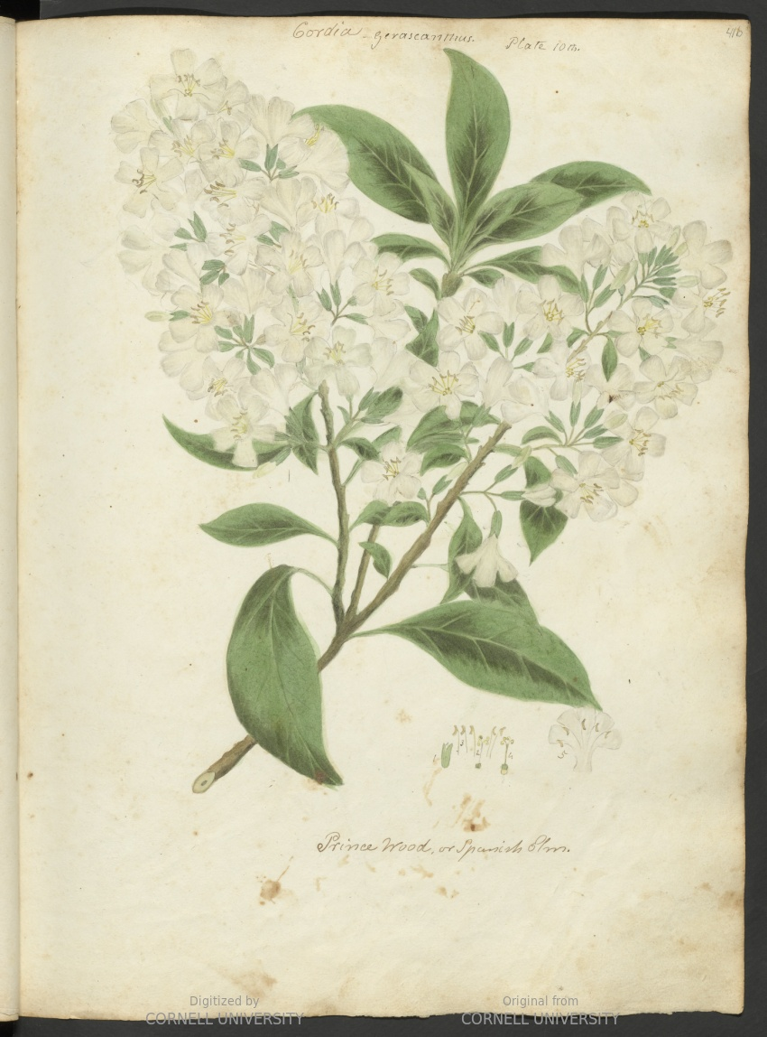 Cordia gerascanthus/Prince wood or Spanish elm. Plate 10. Page 41.