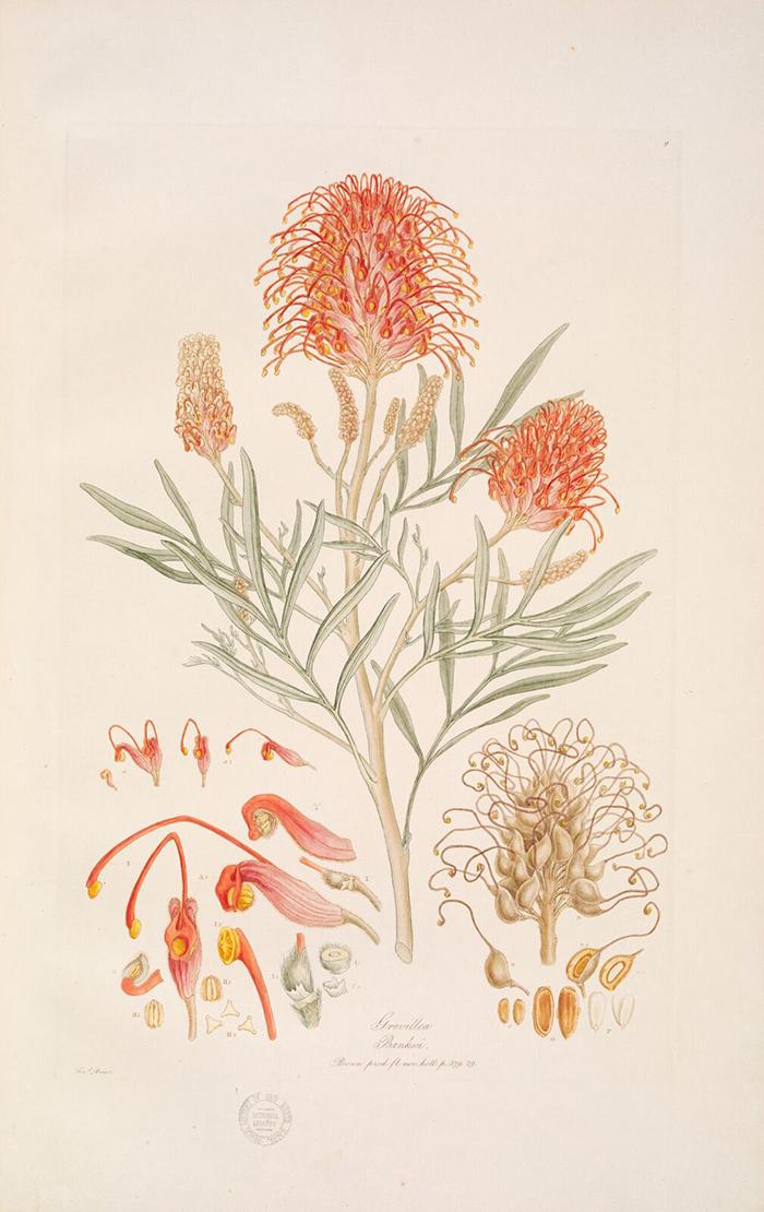 Red silky oak (Grevillia banksia). Early 19th c.