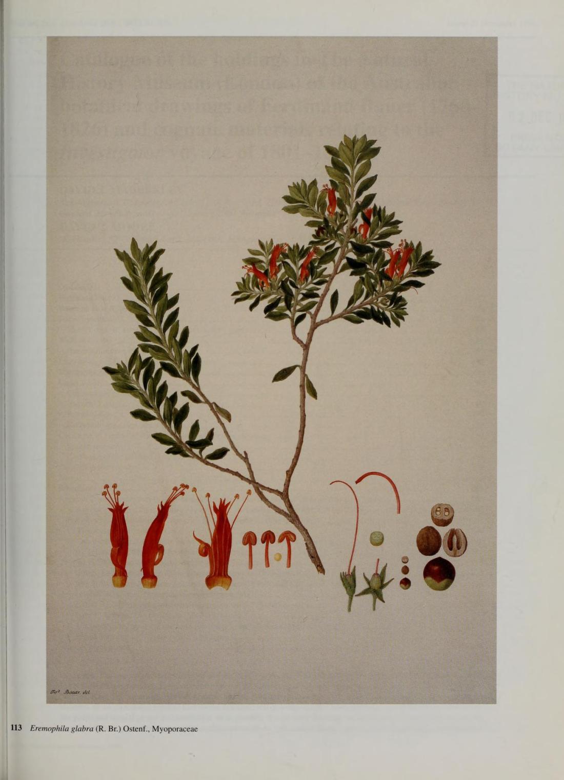 """Eremophila glabra (R.Br), Ostenf, Myoporaceae."" #113."