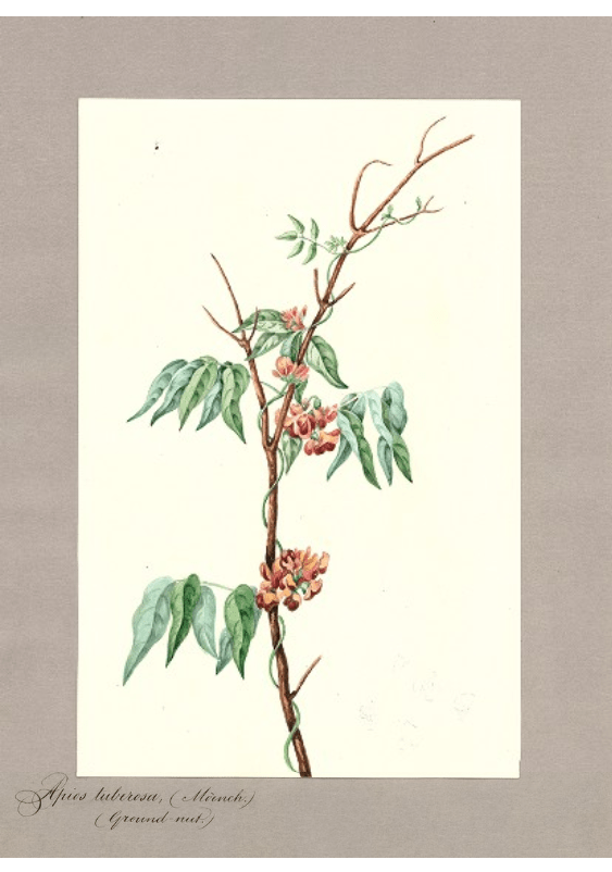 Apios tuberosa Moench/Ground Nut.