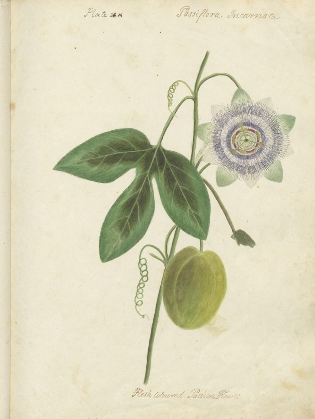 """Passiflora incarnata, flesh colored passion flower."""