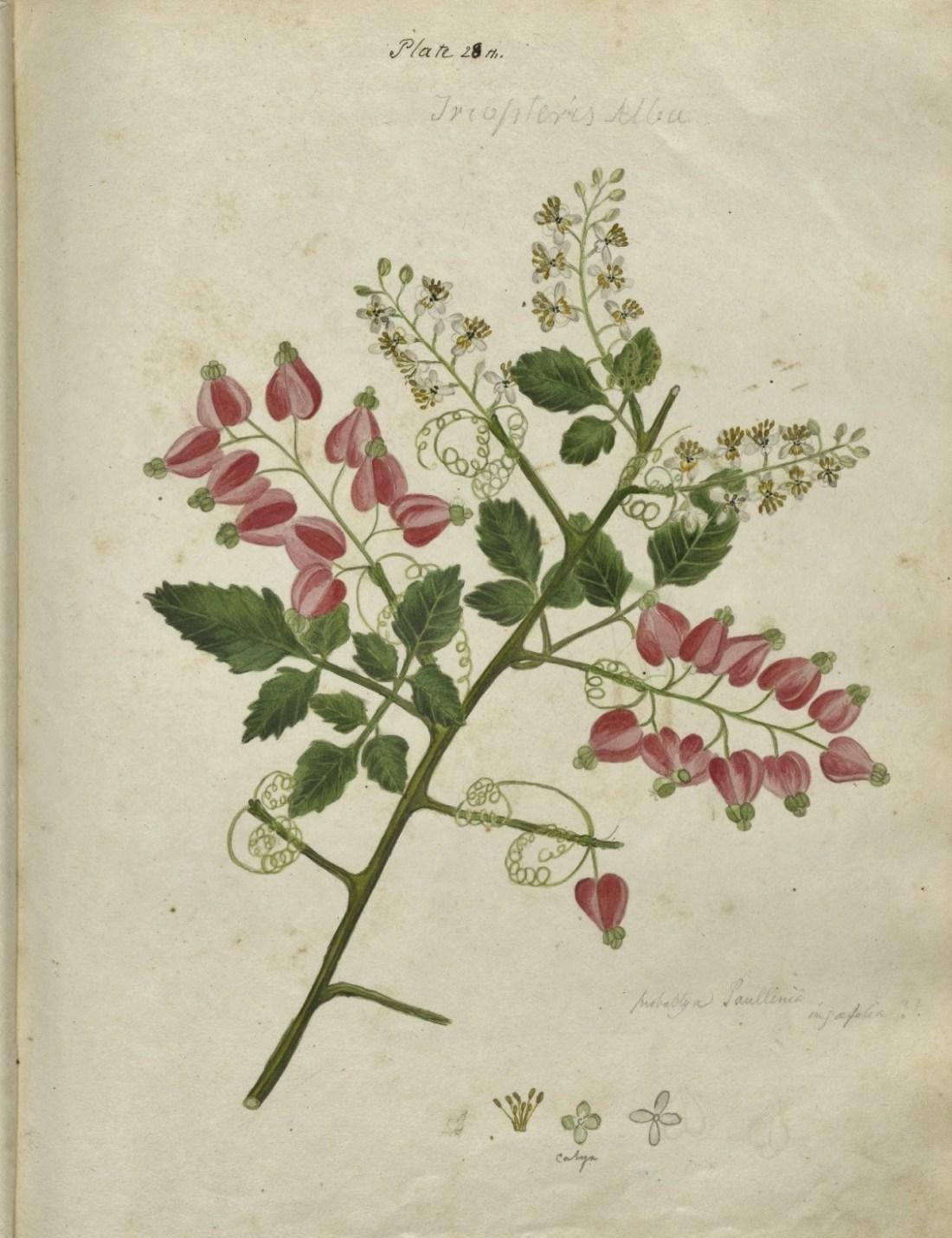 Tropteris alba. Plate 28. 117.