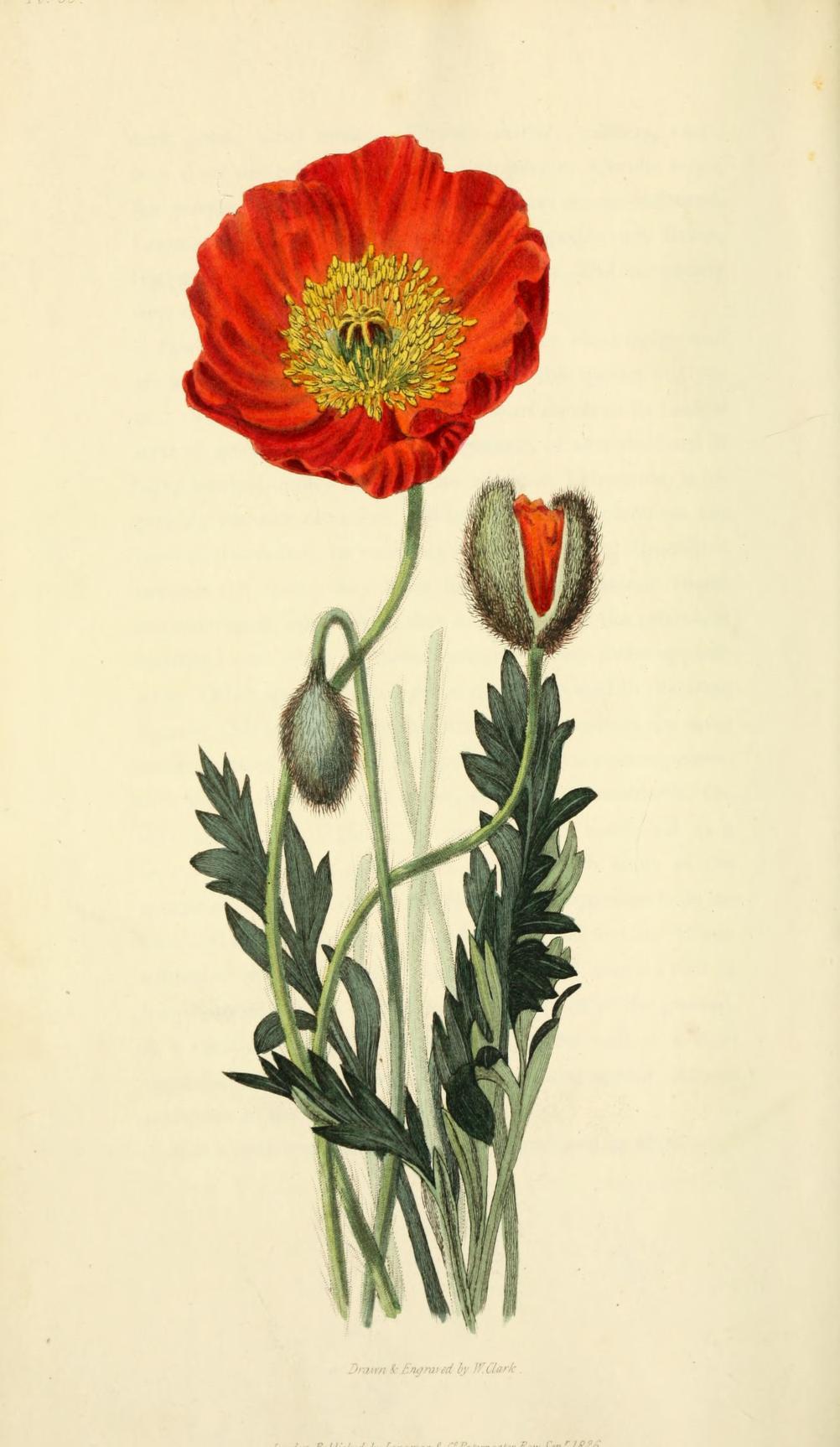 Scarlet naked-stalked poppy. Page 249.