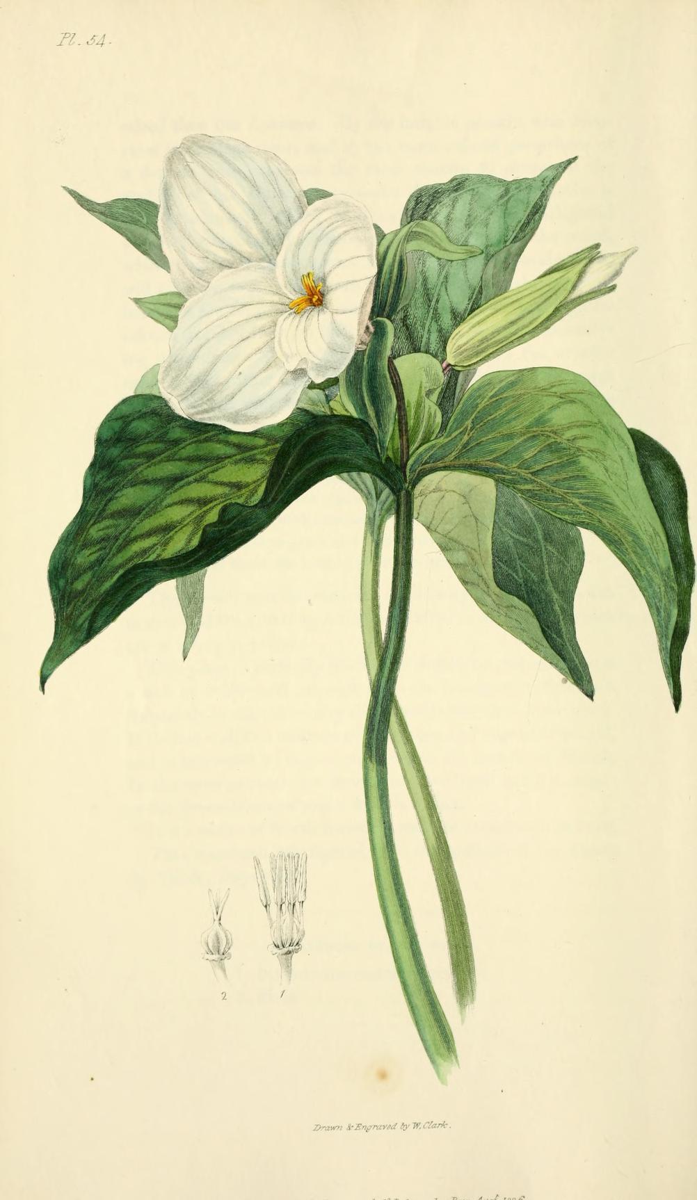 """Large-flowered Trillium."" Plate 54."