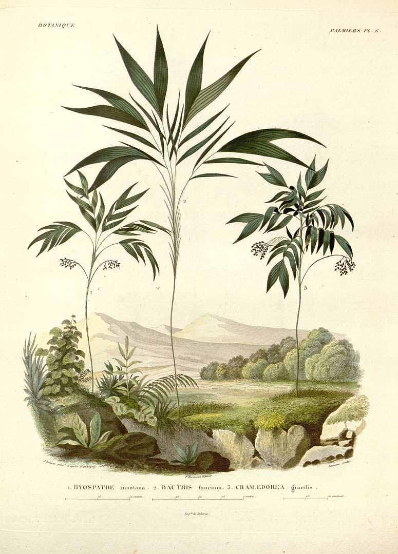 """""""Botanique Palmiers."""" Plate 6."""