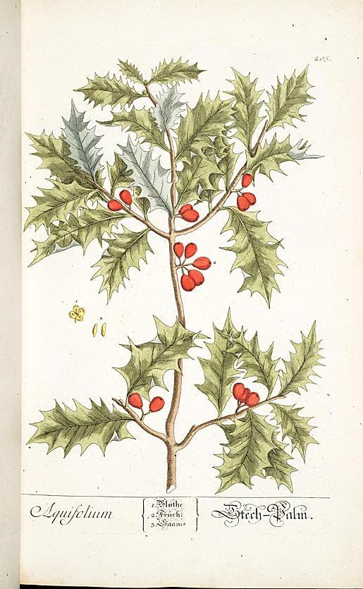 """""""Aquifolium."""" Plate 205. Page 110."""