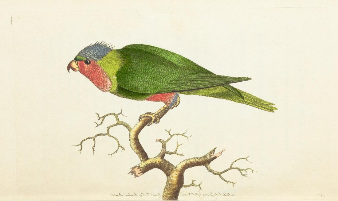 """""""The Purple Headed Parakeet."""" Plate 1. Page 21."""