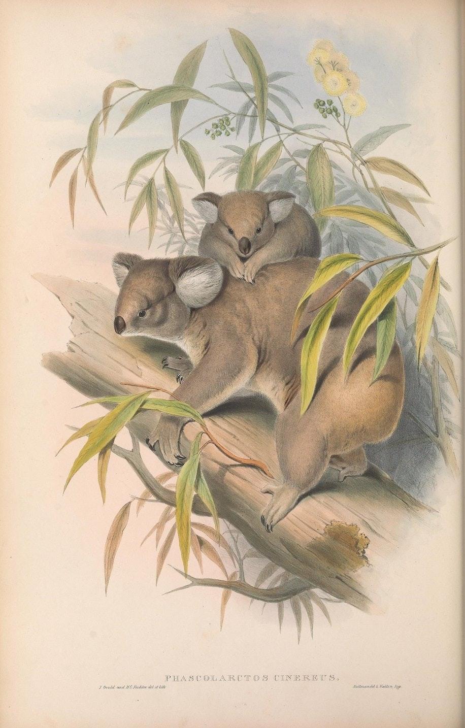 """""""Phascolarctos cinereus, Koalas."""""""