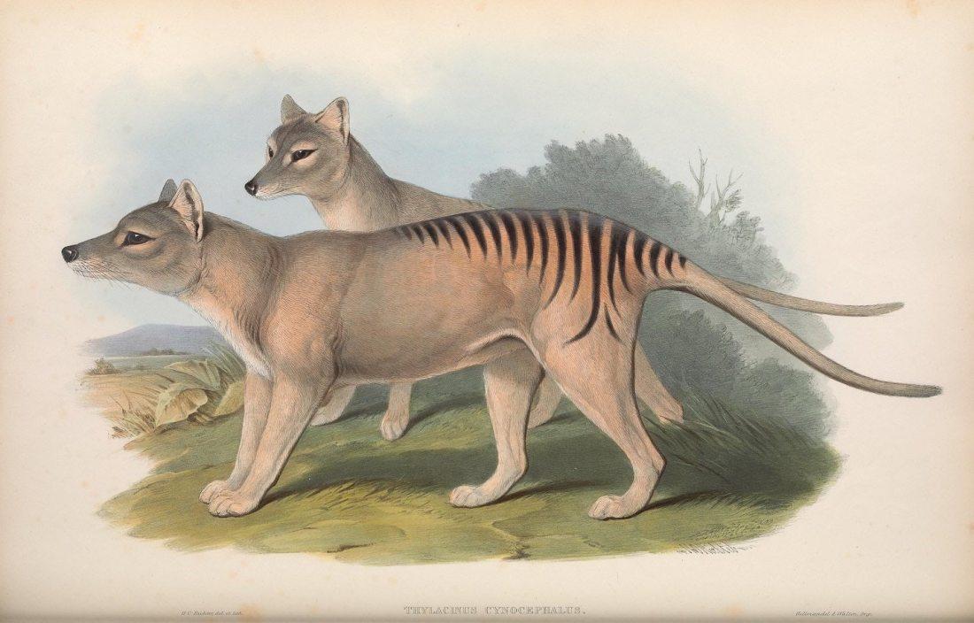 """""""Thylacinus cynocephalus, Thylacine (now extinct)."""""""
