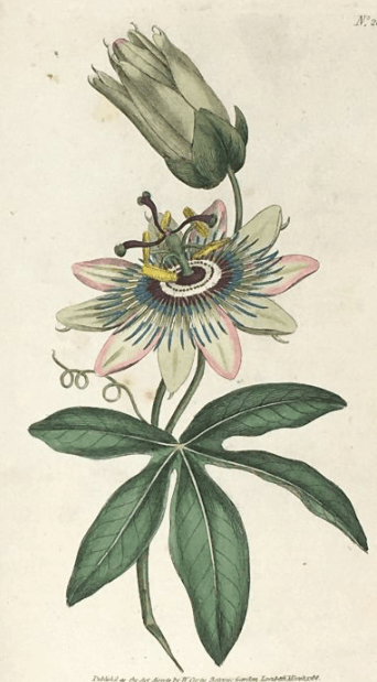 """""""Common Passionflower."""""""