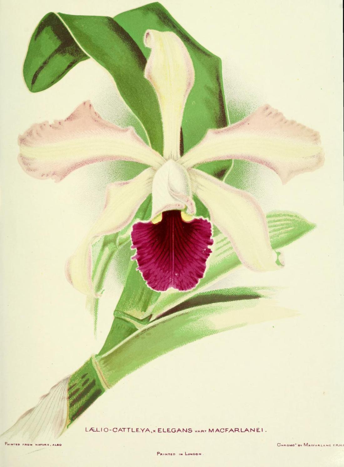 woodlandsorchids00boyl_0047