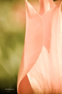 pink petals signed