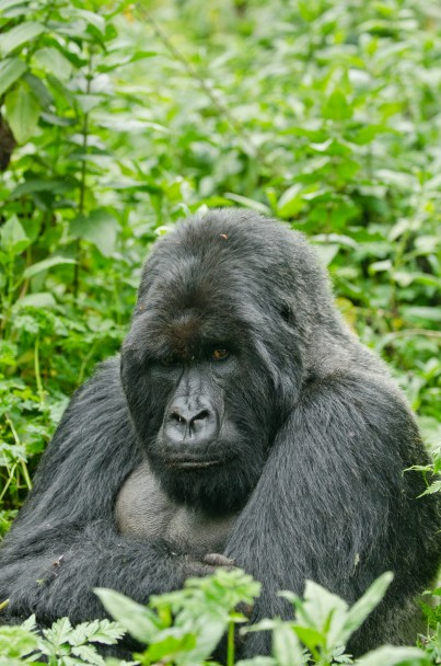 Mountain-gorilla-Volcanoes-National-Park-Rwanda-2