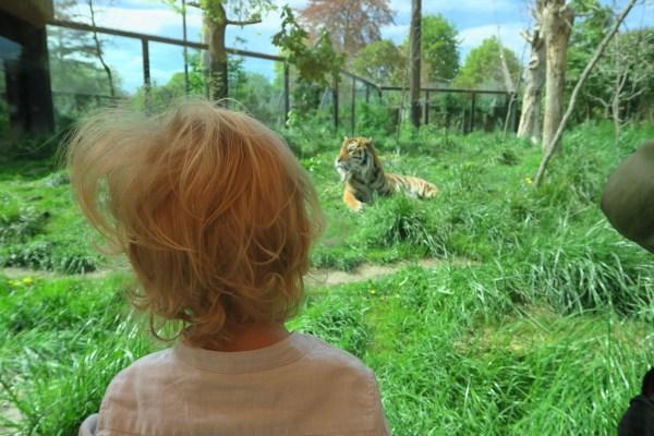 Tiger London Zoo