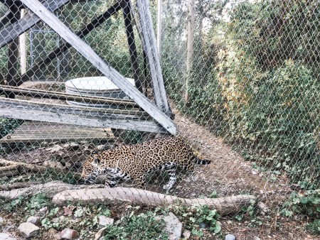 jaguar stone zoo