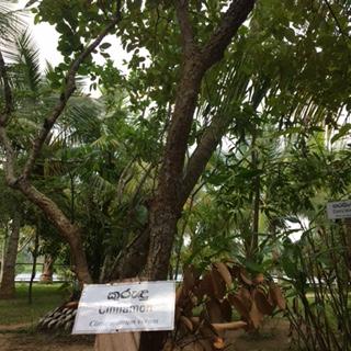 Sri Lanka AHG cinnamon