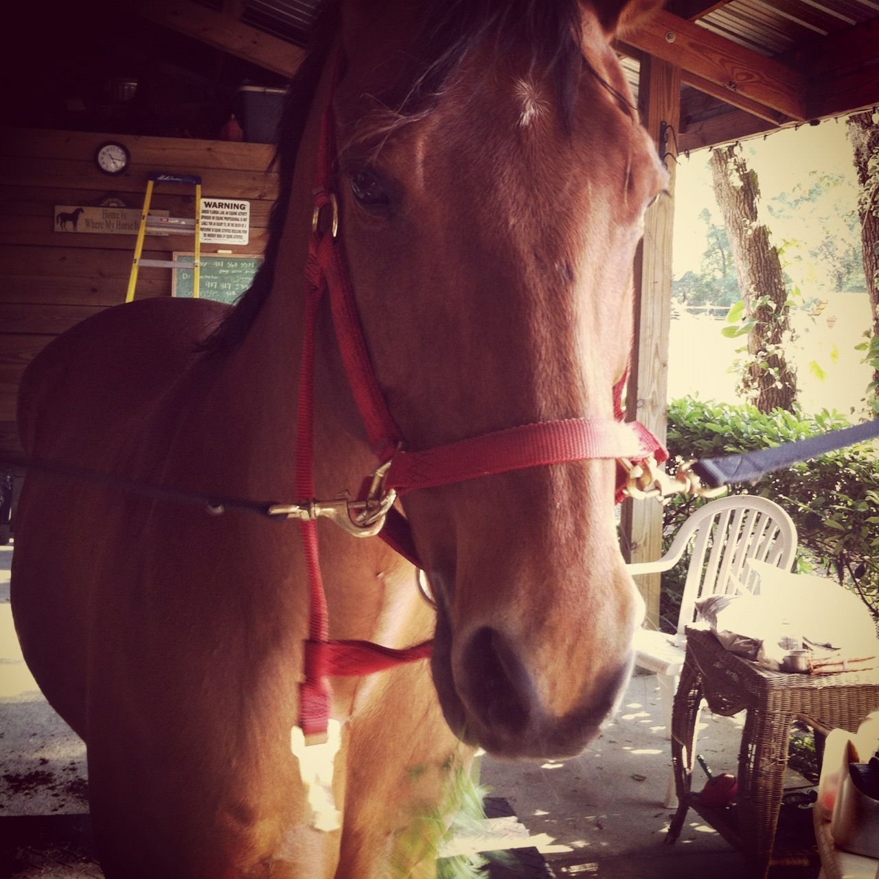 Justin the horse eating a carrot