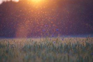 cornflowers, sunset, mosquitoes