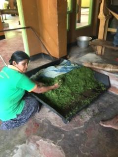 Sri Lanka Tea factory 1 rolled leaves