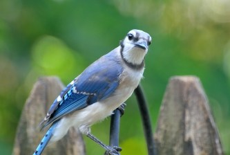 A Blue Jay sitting on a black metal hook. Blue Jays have blue wings and tails and white bellies. They have a black ring around their neck and their foreheads are blue.