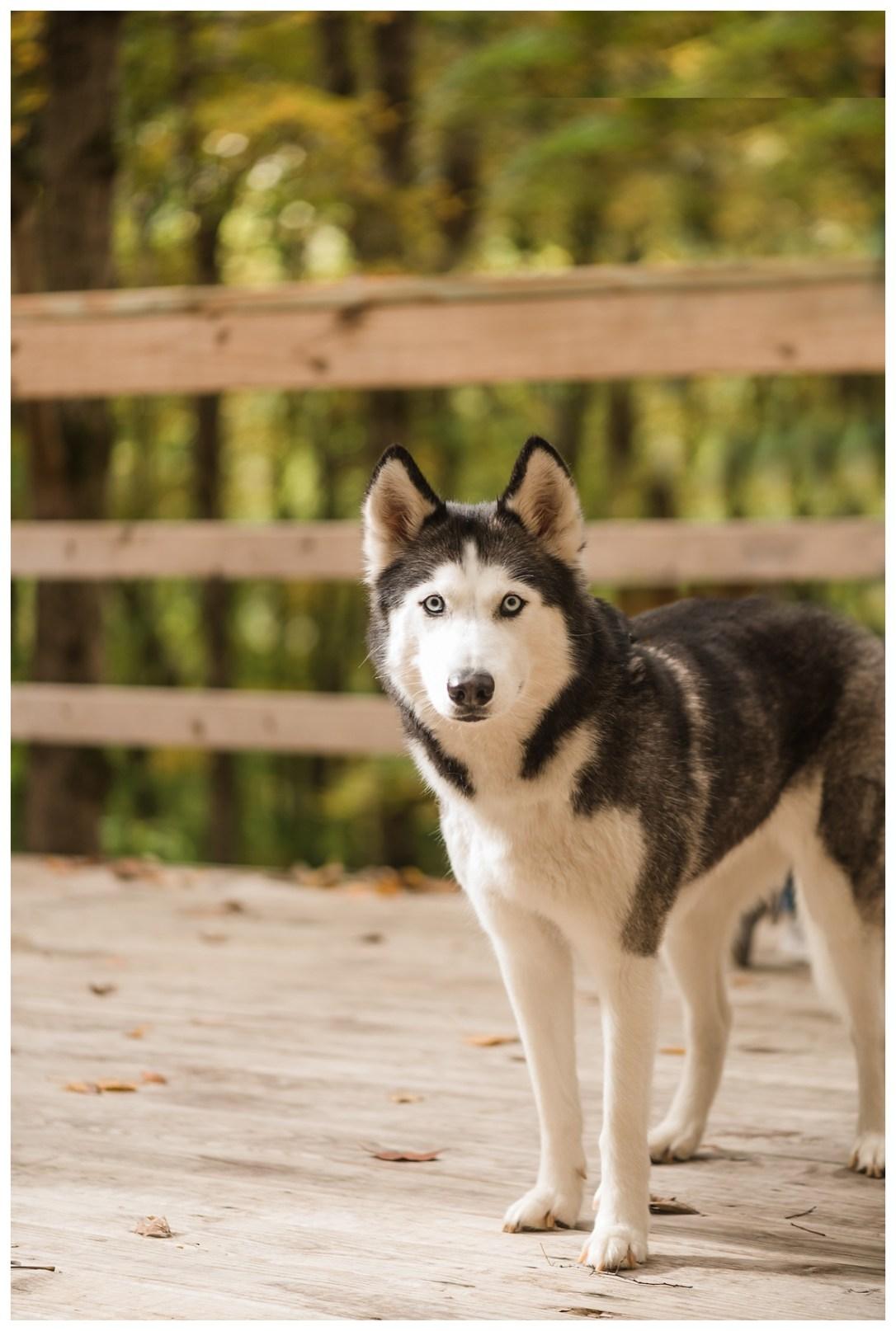 husky dog as direwolf