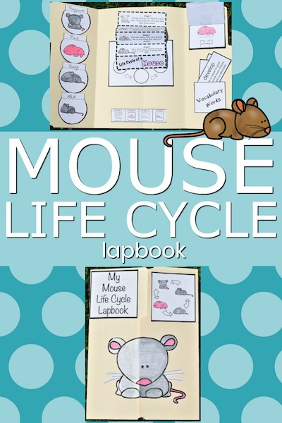 mouse life cycle
